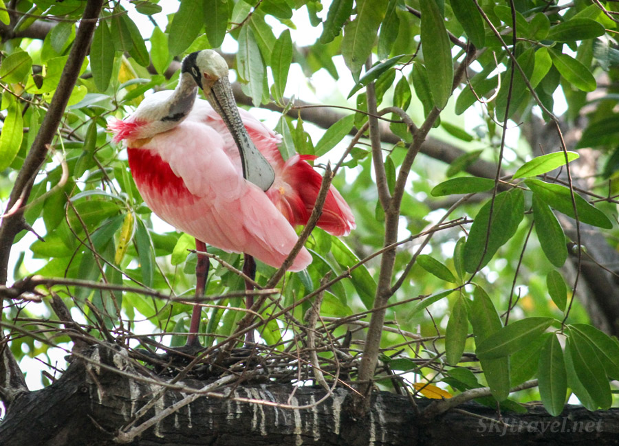 Roseate spoonbill preening himself in the trees, Popoyote Lagoon at Playa Linda, Ixtapa, Mexico.
