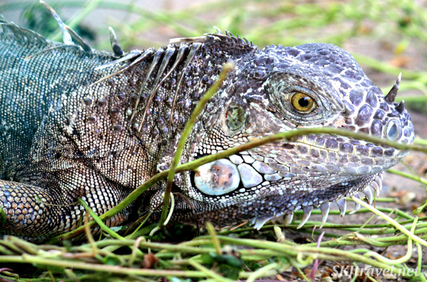 Close-up of iguana ... the spikes on his head are a bit limp. Ixtapa, Mexico.