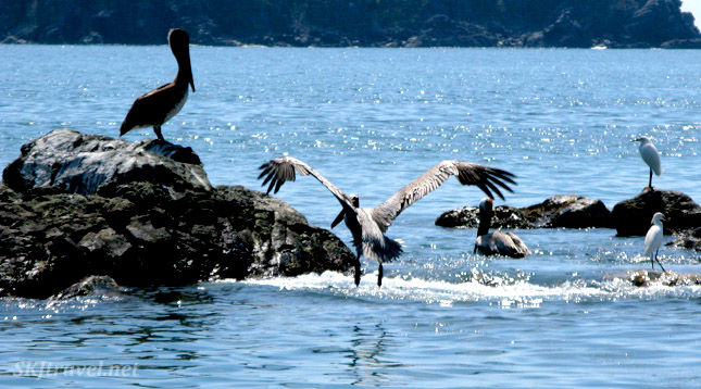 Pelican coming in for a landing, Ixtapa Island, Mexico