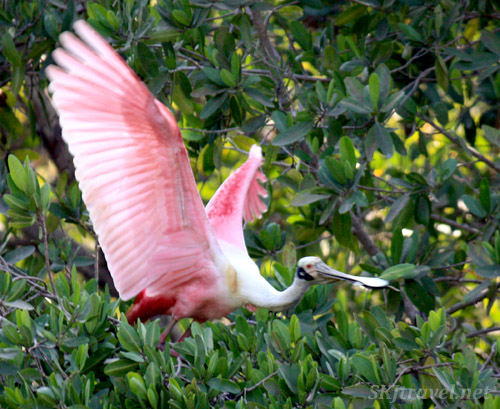 Roseate spoonbill bird in flight. Popoyote Lagoon, Playa Linda, Ixtapa, Mexico.