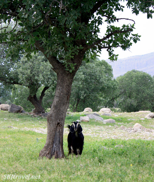Friendly Qashqai goat by a tree. Zagros Mountains, Iran.