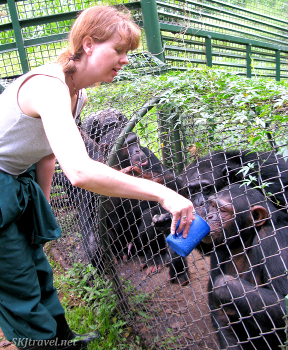 Feeding chimpanzees porridge at UWEC, Uganda.