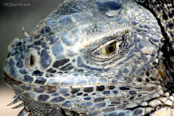 Close-up detail of a mature male iguana head. Ixtapa, Mexico. Wildlife in Ixtapa, Mexico.