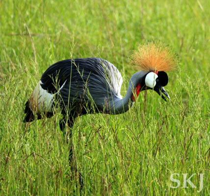 Grey crowned crane, Queen Elizabeth national park, Uganda.