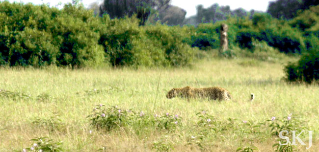 Leopard stalking prey in tall weeds in Queen Elizabeth National Park, Uganda.