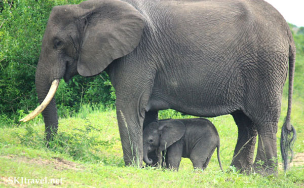 Mother elephant with infant, Queen Elizabeth NP Uganda