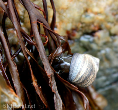 Snail crawling up a strand of seaweed on the coast of Maine. Photo by Shara Johnson