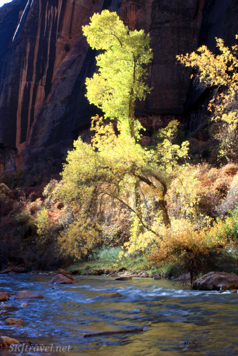 Very bright golden leaves contrast against dark canyon wall.