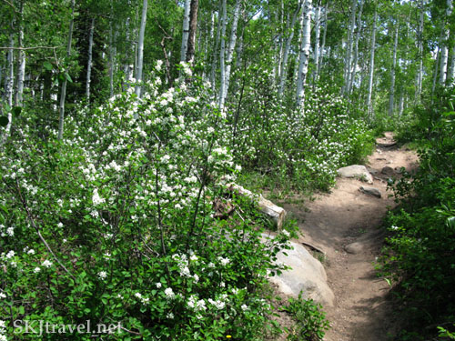Profusion of blooming bushes in Mt. Zirkel Wilderness, Colorado