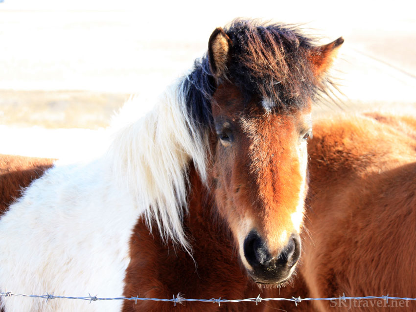 Brown and white Icelandic horse standing at a barbed wire fence, Iceland. Photo by Shara Johnson