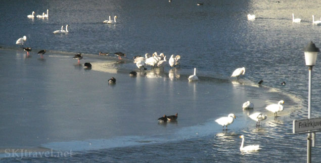 swans on a half frozen pond