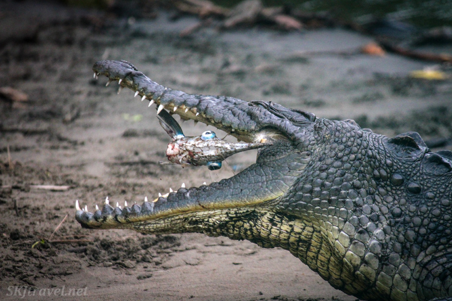 Crocodile eating a fish and tossing it in his mouth. Popoyote lagoon, Ixtapa, Mexico.