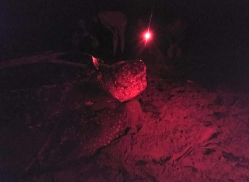 Nesting leatherback turtle at night in red light. Armila, Guna Yala, Panama.