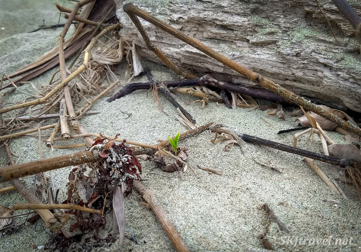 Tiny palm tree seedling growing among the trash on the beach of Armila, Guna Yala, Panama.