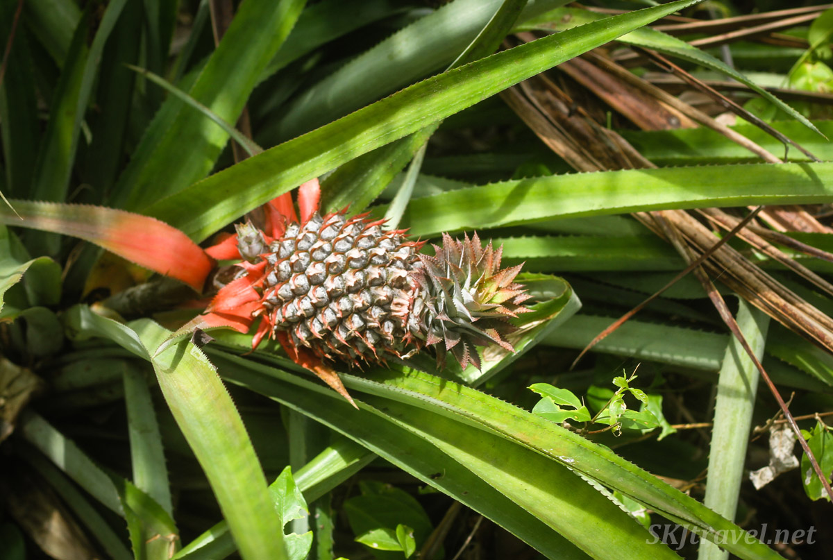 Baby pineapple along the path into the jungle. Armila, Panama.