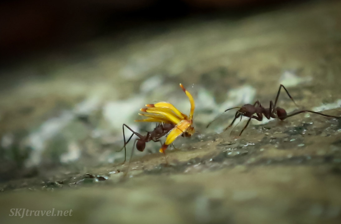 Leaf cutter ants carrying away tiny yellow flowers in the jungle, Armila, Panama.