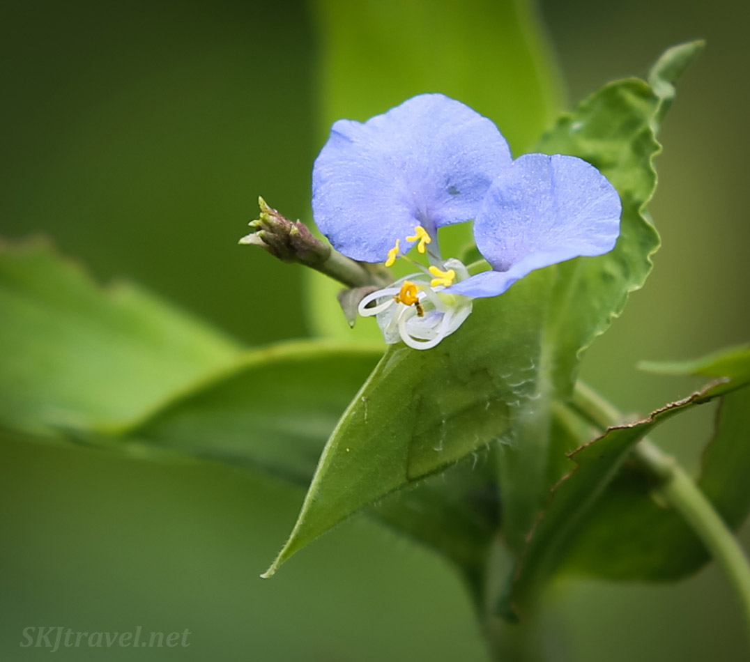 Delicate blue flower in the jungle, Armila, Guna Yala, Panama.