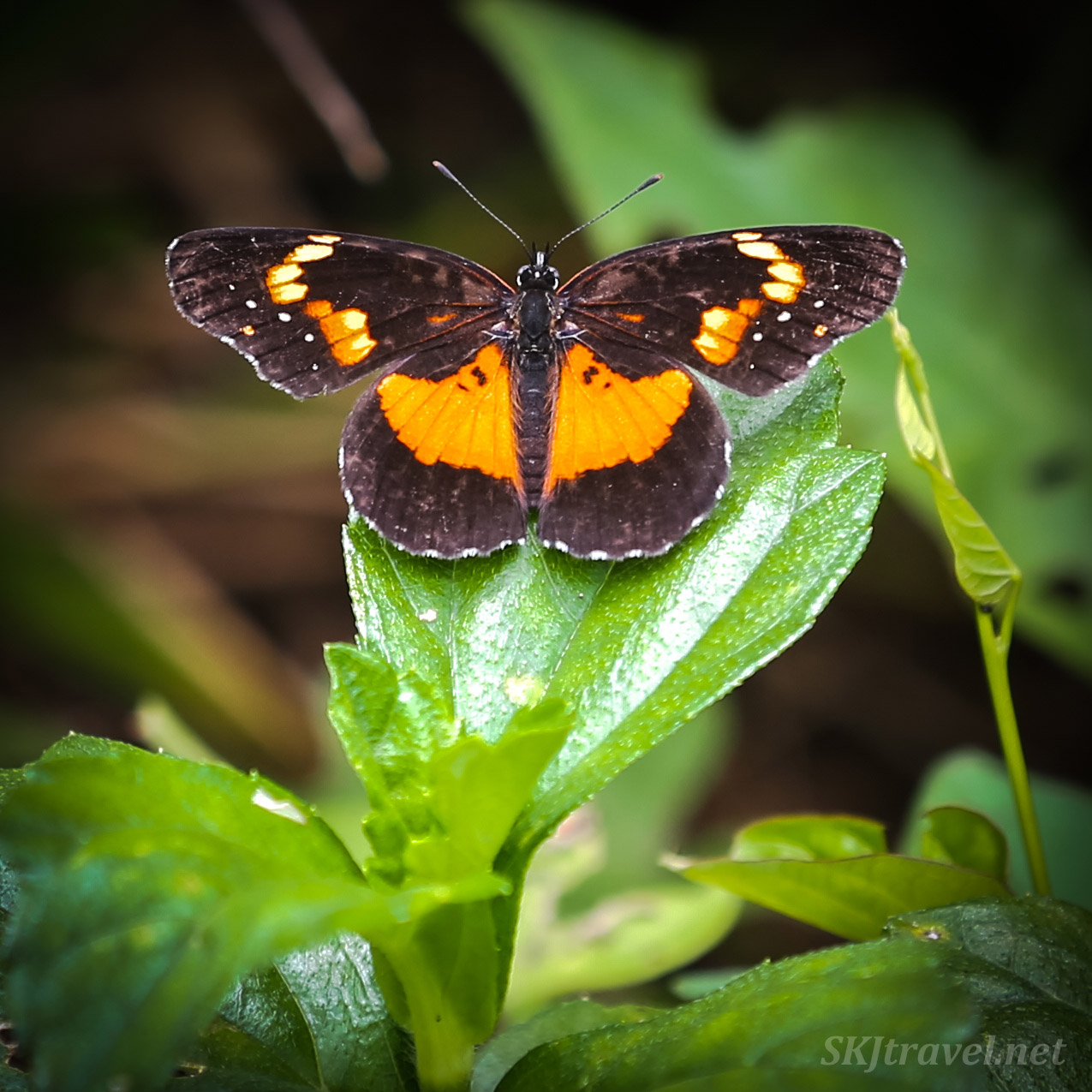 Black and orange butterly in the jungle, Armila, Guna Yala, Panama.