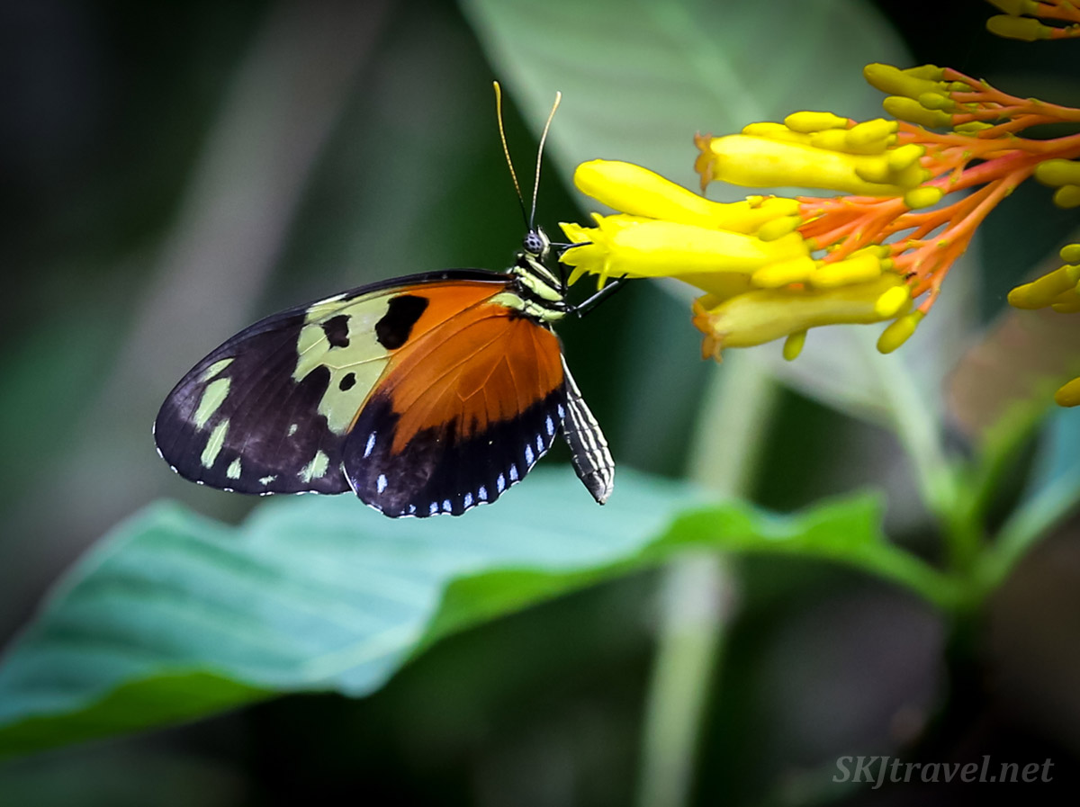 Black, orange, white butterfly drinking from yellow flowers in the jungle, Armila, Guna Yala, Panama.