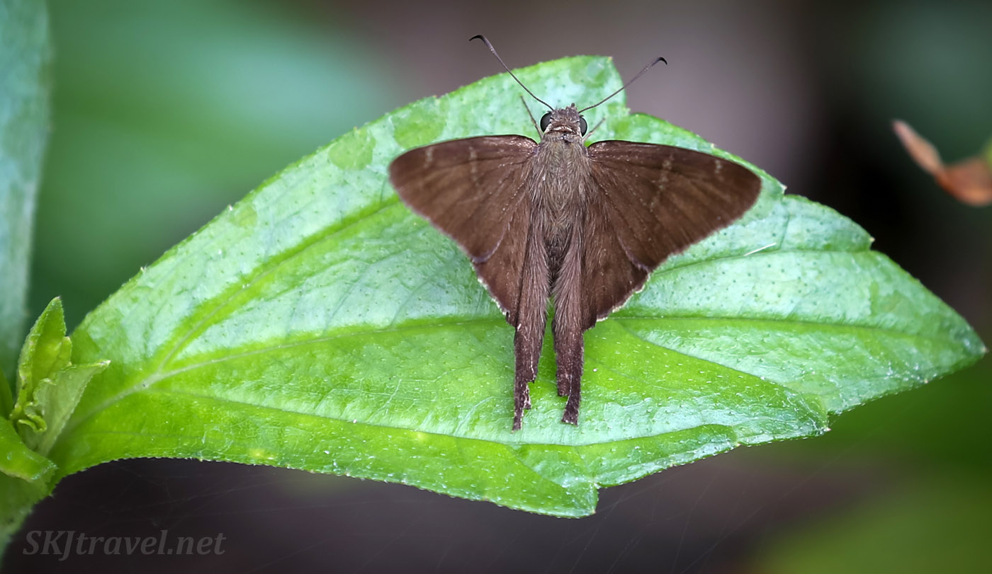 Moth on a leaf in the jungle, Armila, Guna Yala, Panama.