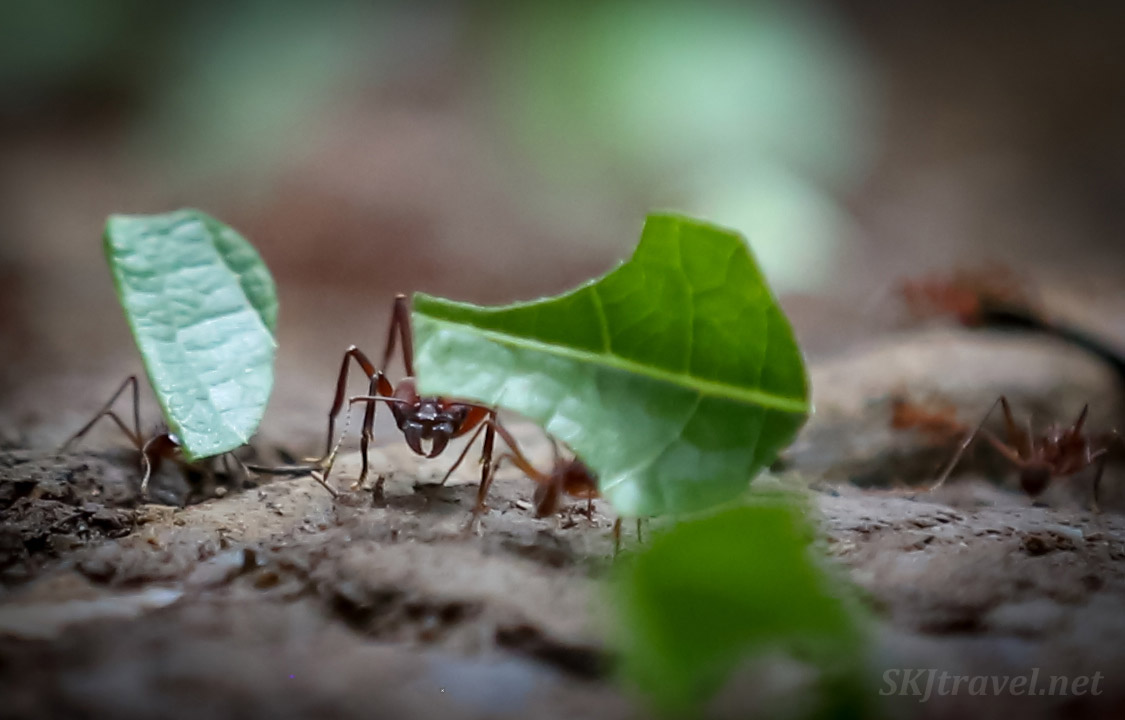 Leaf cutter ant with mandibles for cutting pieces out of leaves, in the jungle, Armila, Guna Yala, Panama.