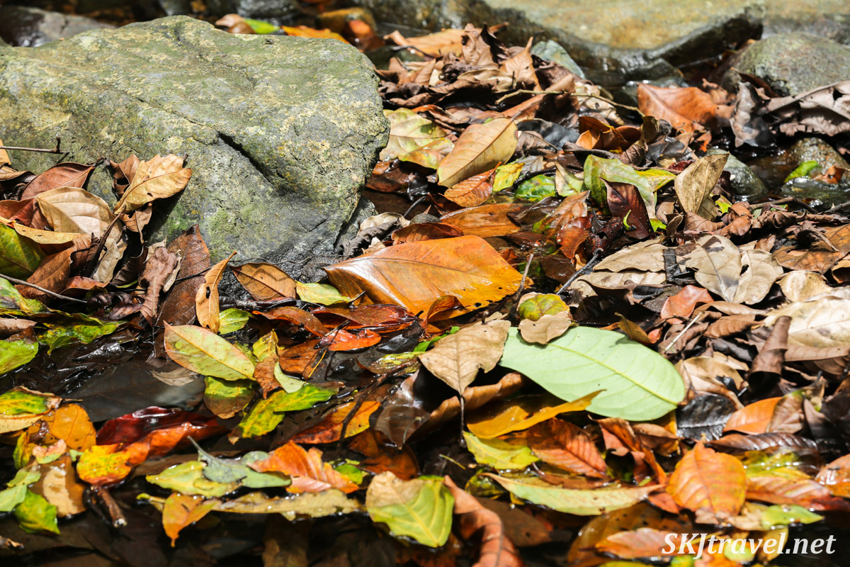 Jumble of dead leaves in a creek bed in the jungle. Armila, Guna Yala, Panama.