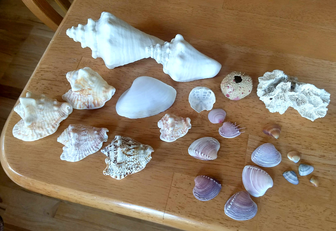 Seashells found around Armila, Panama.