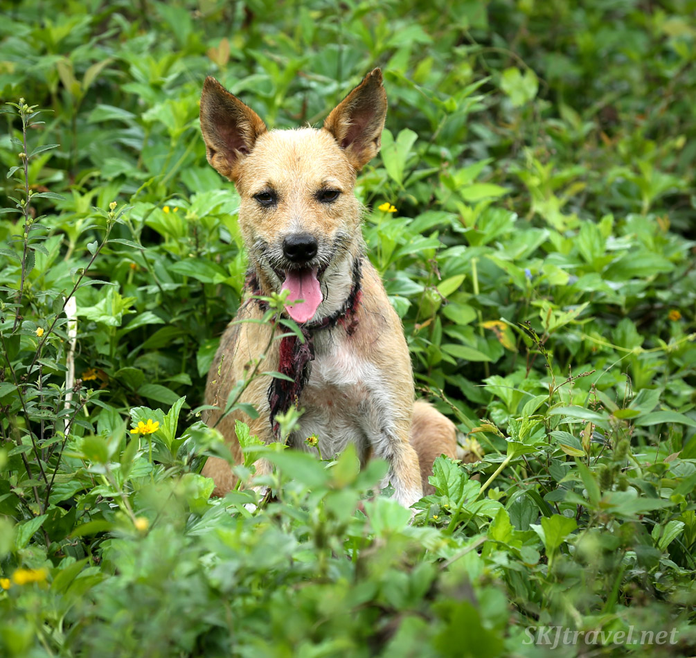 Buddy the dog waiting for me to catch up in the jungle. Armila, Guna Yala, Panama.