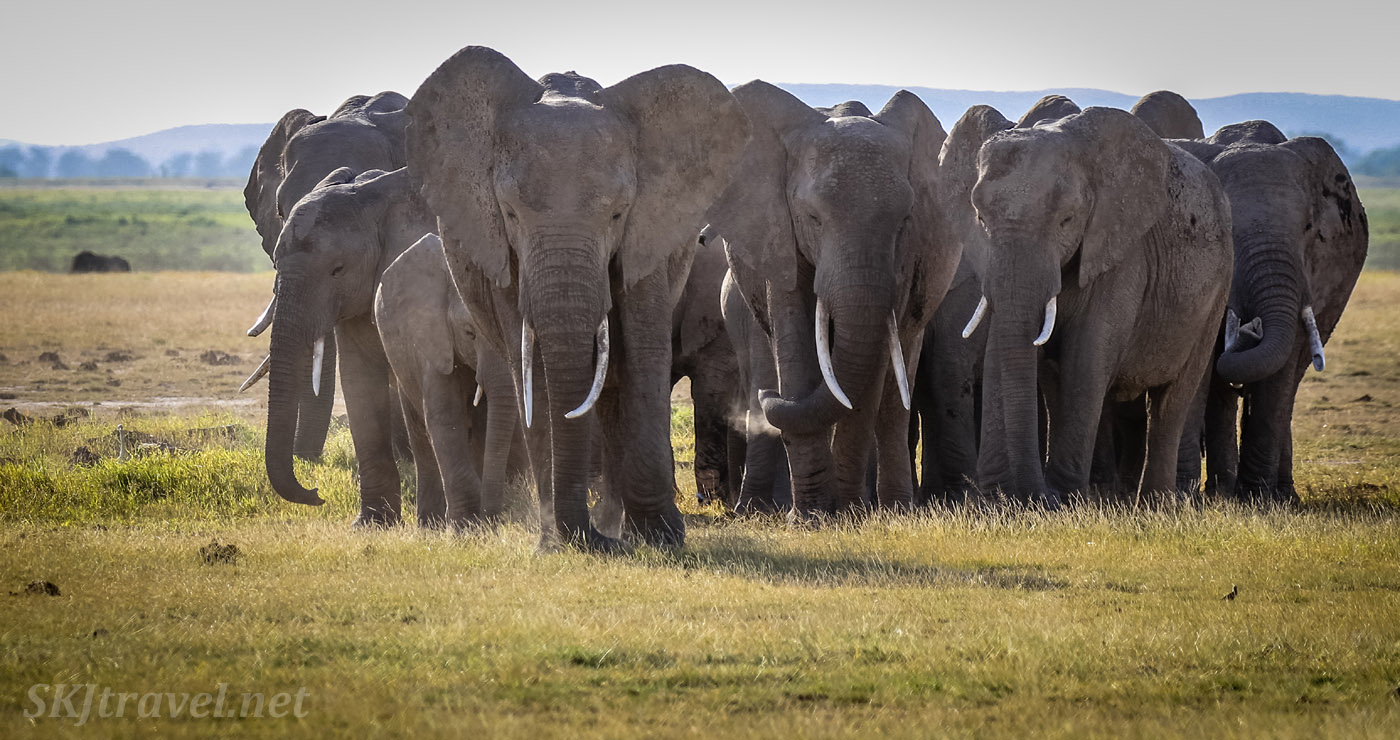 Elephant herd approaching like a Roman testudo across the plains of Amboseli. Kenya.