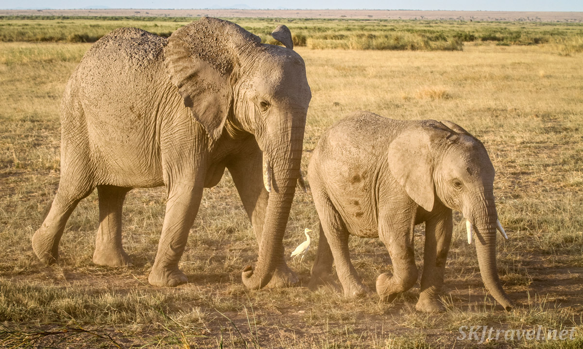 Young elephant and younger sibling walking with an egret near dusk, Amboseli, Kenya.
