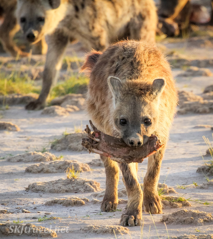 Spotted hyenas finishing up a meal, Amboseli, Kenya.