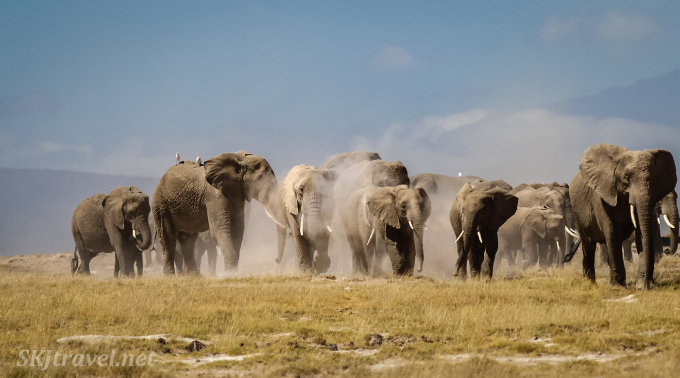 Herd of elephants kicking up dust walking across the plains of Amboseli, Kenya.