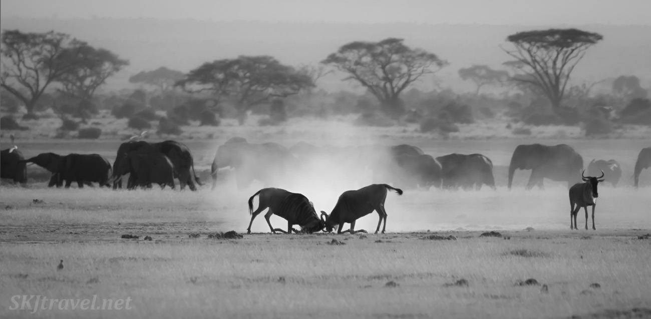 Wildebeests battling in the dusty foreground, elephants casually walking by in the background. Amboseli, Kenya.