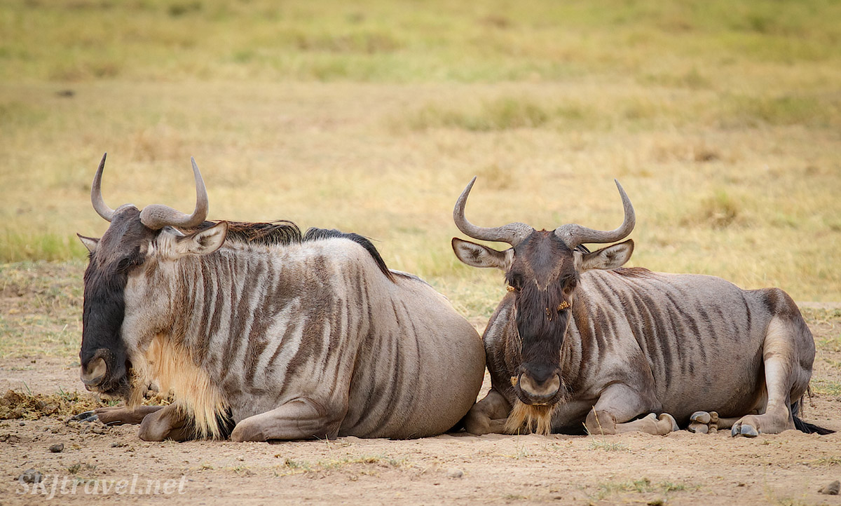 Two blue wildebeests sitting on the plains of Amboseli, Kenya.