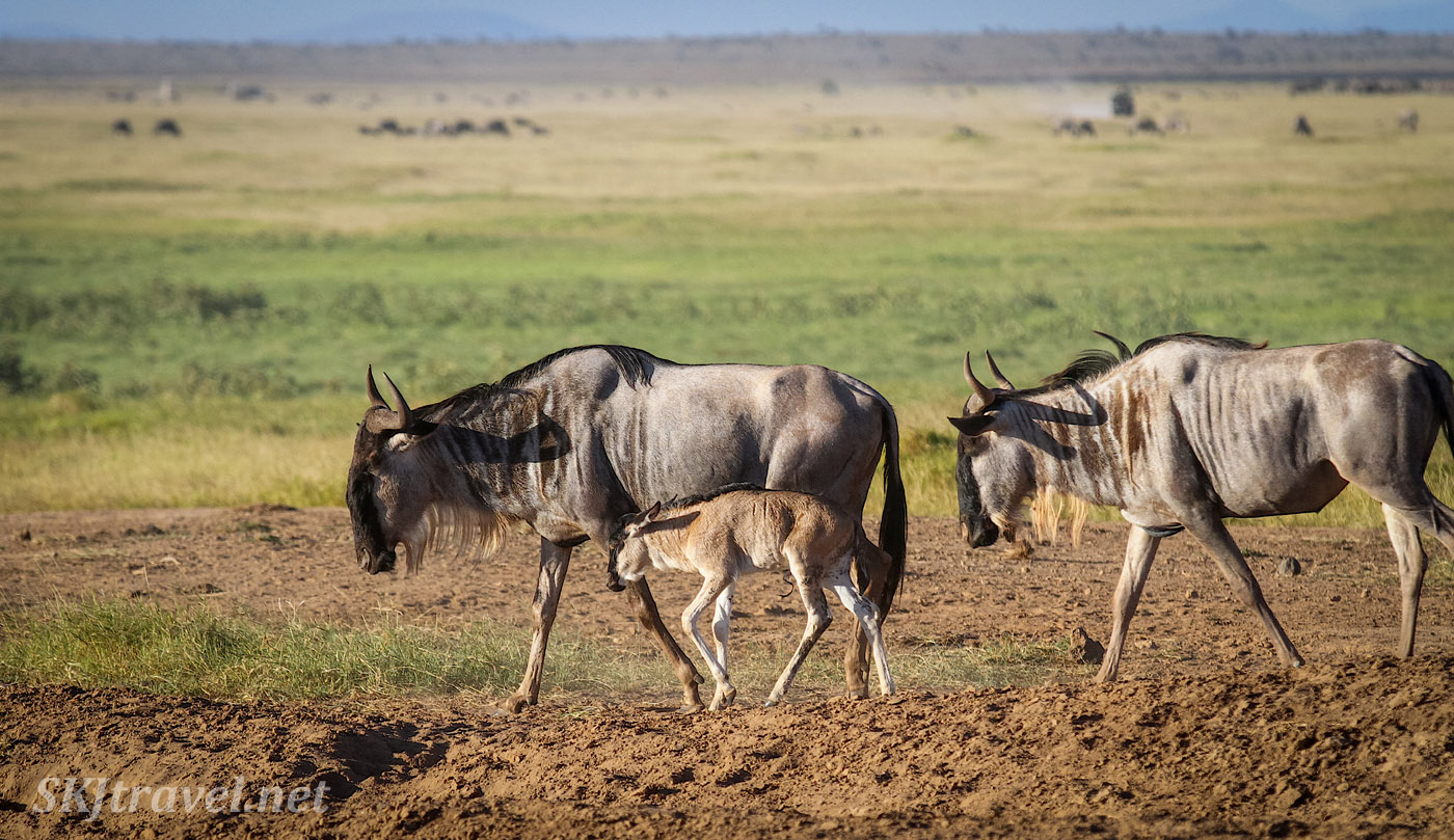 Young wildebeest walking beside its mother across the plains of Amboseli, Kenya.