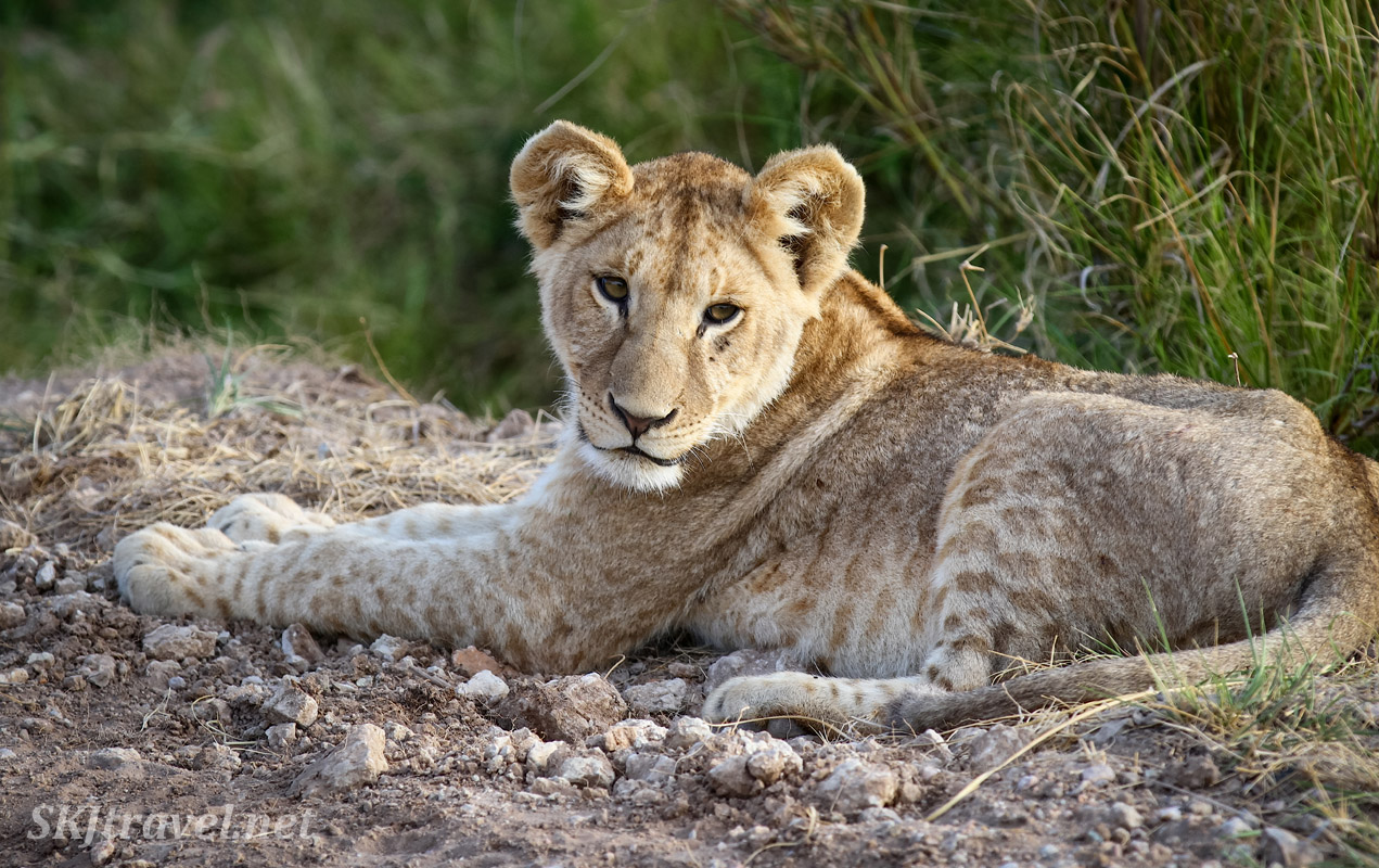 Lion cub on the side of the road, Amboseli, Kenya.