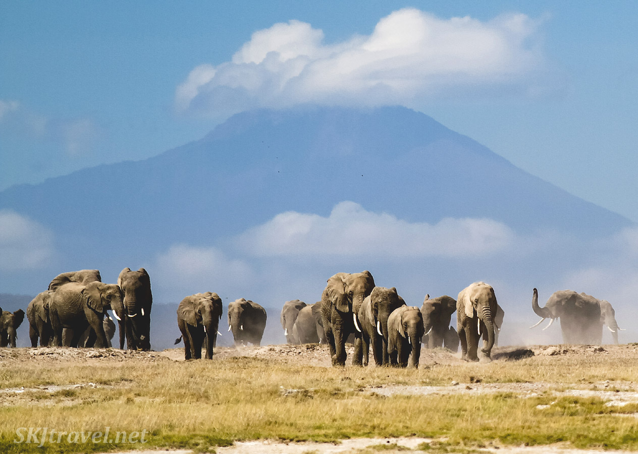 Herd of elephants approaching below Mt. Kilimanjaro on the plains of Amboseli, Kenya.