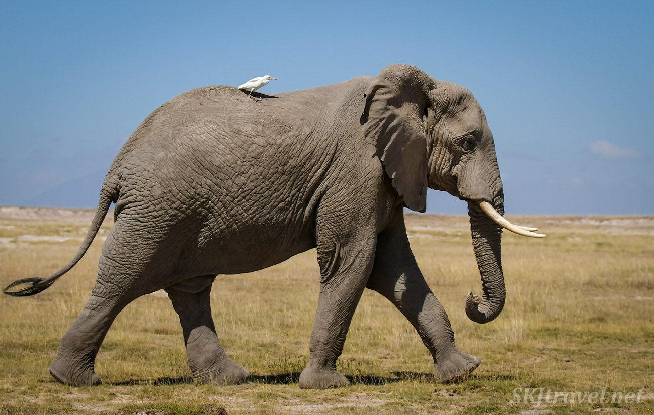Egret riding on top of an elephant like a jockey. Amboseli, Kenya.