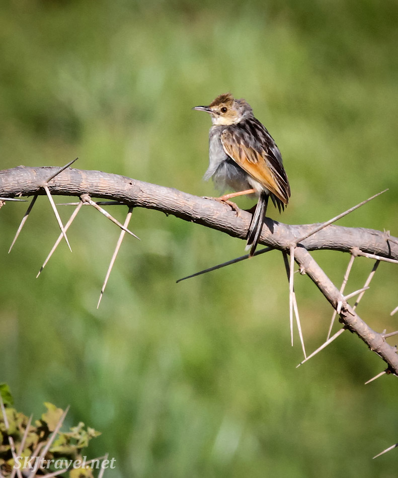 Winding cisticola sitting on a branch, Amboseli, Kenya.