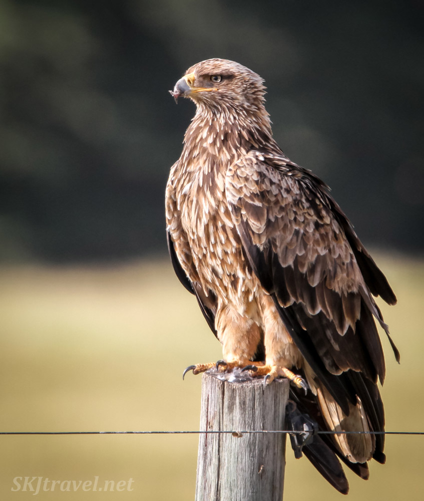 Tawny eagle sitting on a fence post, Amboseli, Kenya.