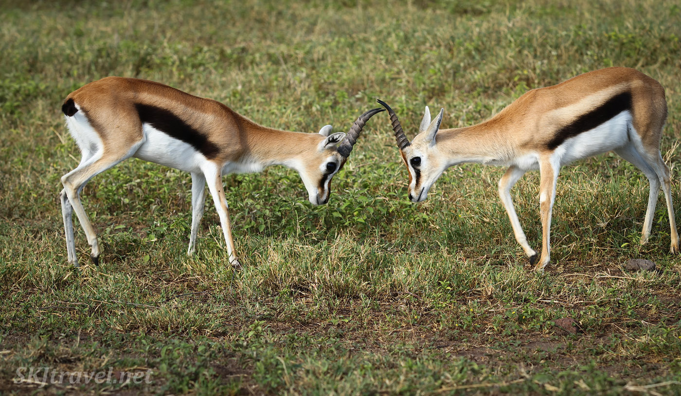 Thomson's gazelles sparring in Ngorongoro Crater, Tanzania.