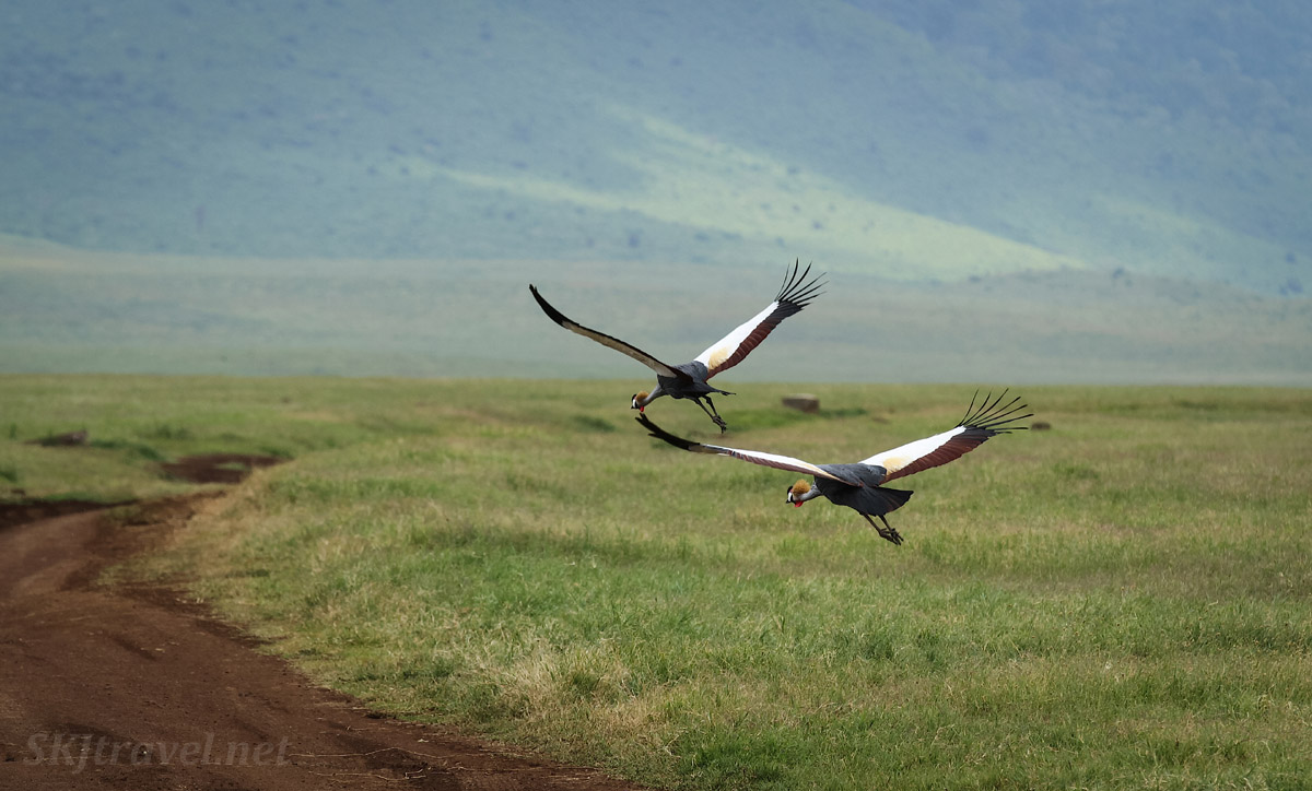 Gray crowned cranes in flight, Ngorongoro Crater, Tanzania.