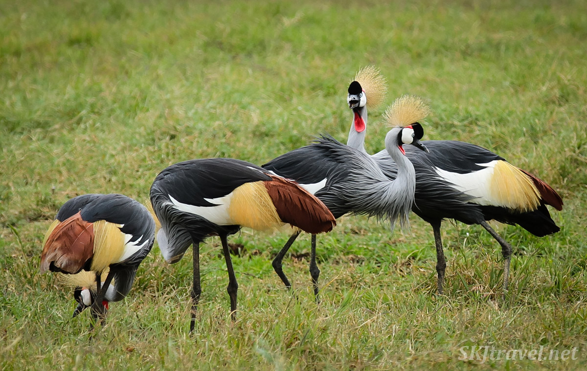Flock of gray crowned cranes in Ngorongoro Crater, Tanzania.