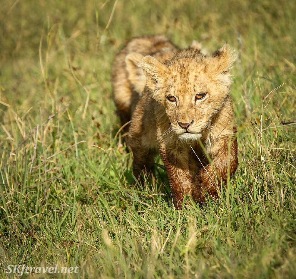 Lion cub trekking through the grass in Ngorongoro Crater, Tanzania.