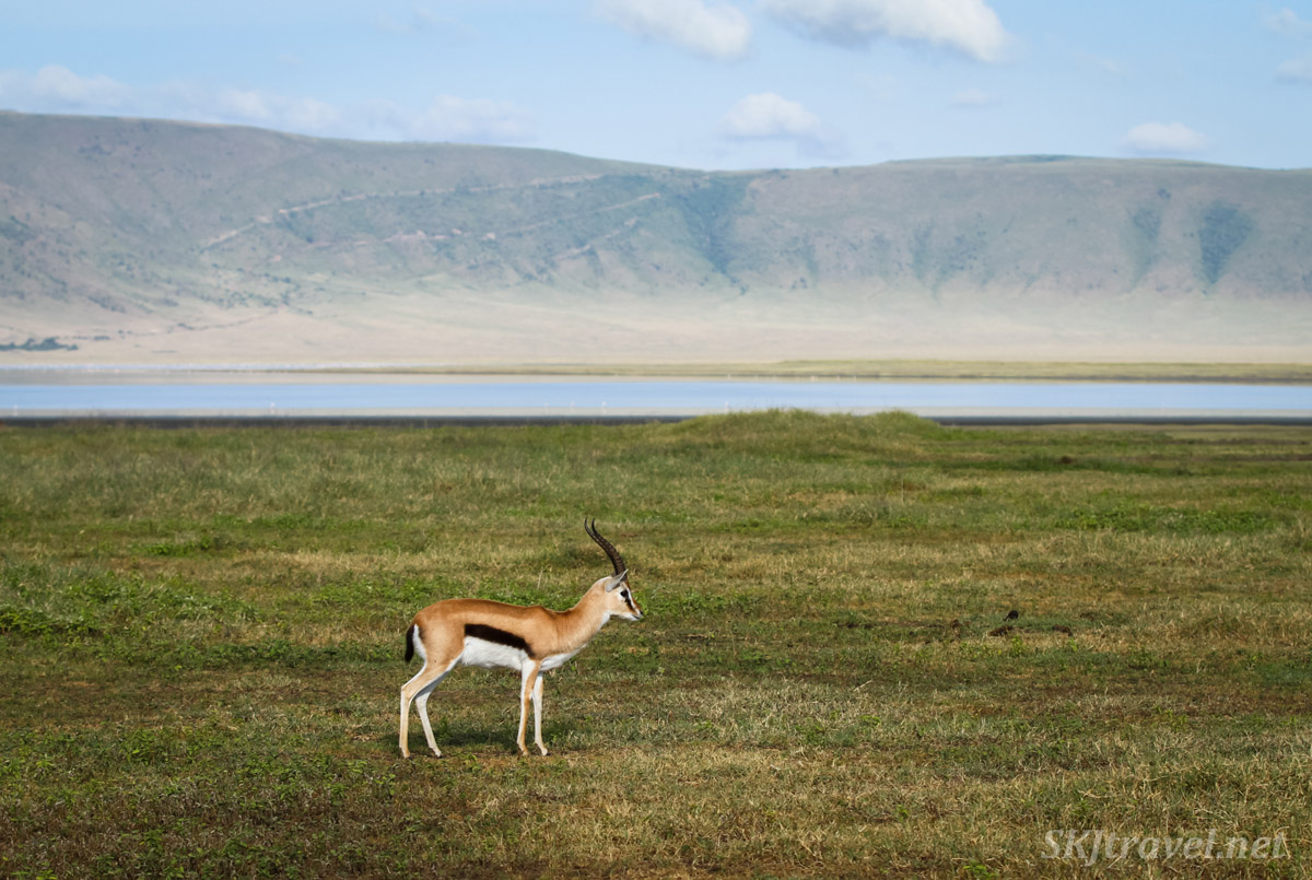 Lone Thomson's gazelle standing in the middle of Ngorongoro Crater, Tanzania.