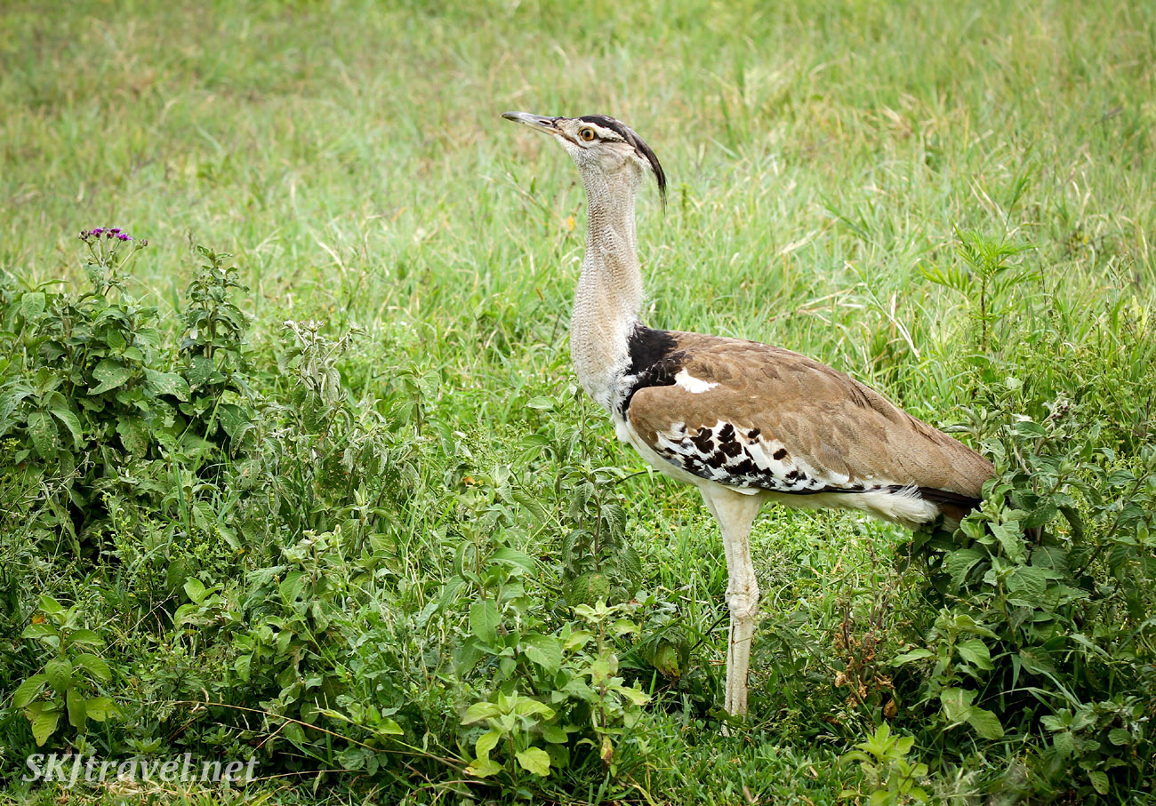 Kori bustard walking through grass, Ngorongoro Crater, Tanzania.