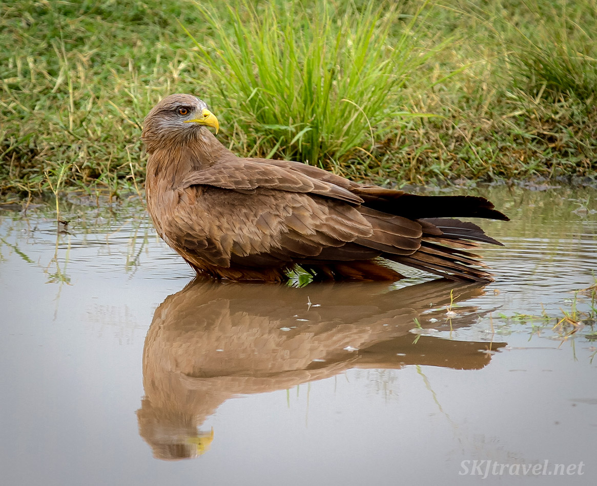 Tawny eagle in the water with reflection, Ngorongoro Crater, Tanzania.