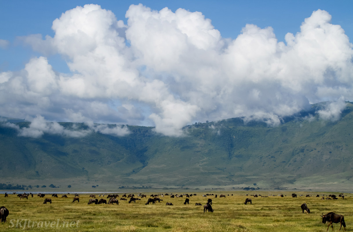 Wildebeests grazing in Ngorongoro Crater, Tanzania.