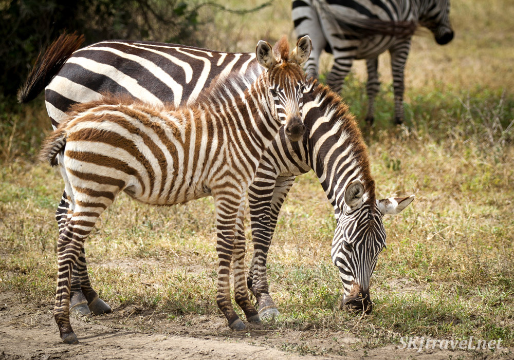 Young zebra and mom, Ngorongoro Crater, Tanzania.