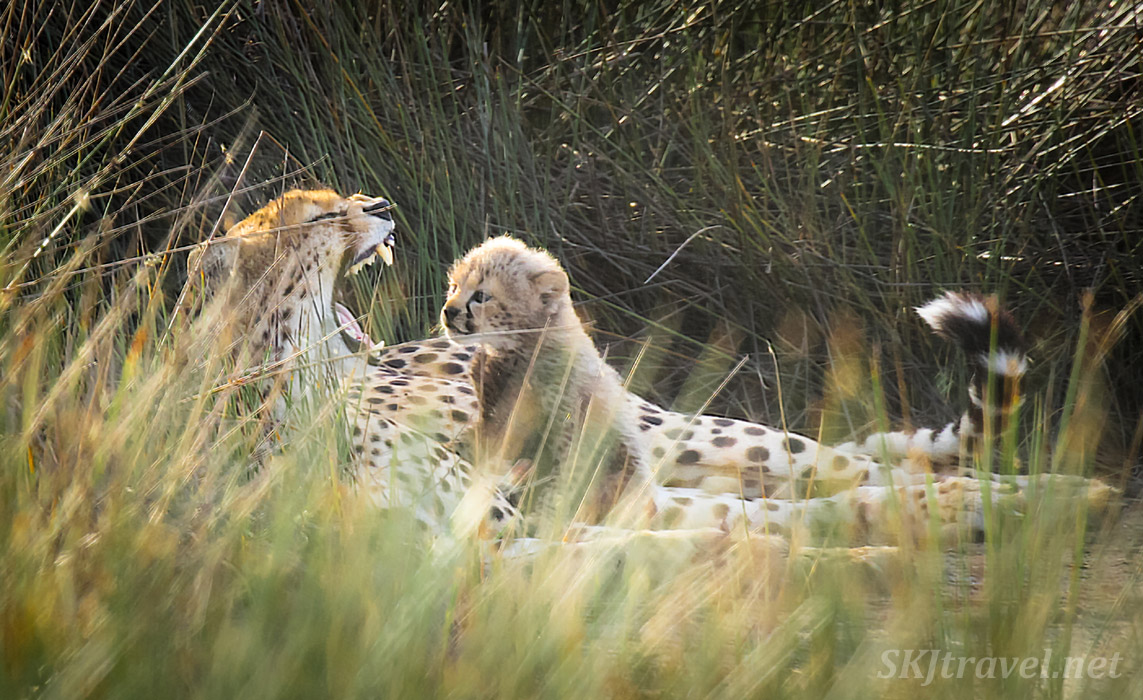 Cheetah cub looking at her mom yawning. Ndutu, Tanzania.